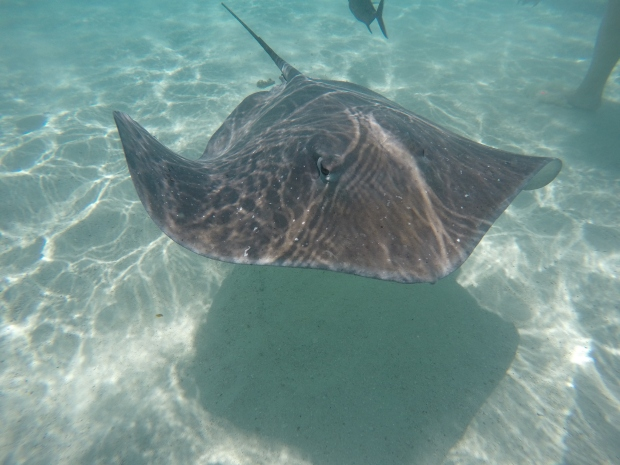 Giant sting ray swimming through turquoise ocean